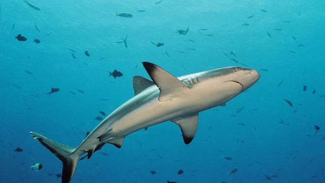 Divers come from around the globe to swim with sharks in Palau's rich waters.