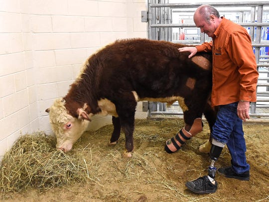 "Ronnie Graves, a prosthetist and orthotist, stands with Dudley after a successful procedure to fit the steer with a new prosthetic leg at the UT Veterinary Medical Center in 2015. ""Dudley was a hell of a guy, he really was,"" said Graves during the memorial service."