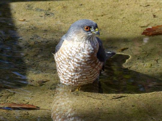 A male sharp-shinned hawk takes a dip in a backyard pond.