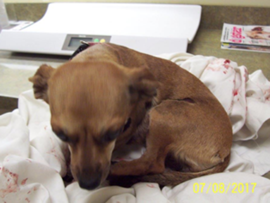 Leia, a 4-year-old Chihuahua was dragged for a half
