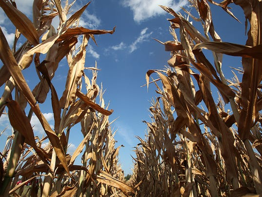 corn field near Waverly shows signs of drought on July 30, 2012 ...