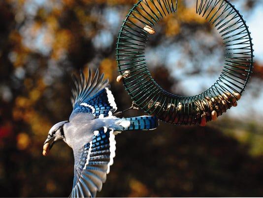 635798107130209826-bluejay-on-wreath