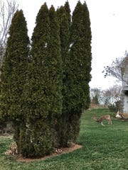 """A deer is seen in a yard in the Kahite community of Tellico Village in Monroe County. Bushes in the yard have been eaten by the deer, leaving what many residents refer to as the """"Kahite cut."""""""