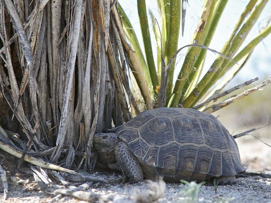 A desert tortoise stays in the shade of a yucca plant after a group of researchers spot it during a scientific survey in Joshua Tree National Park on April 1.