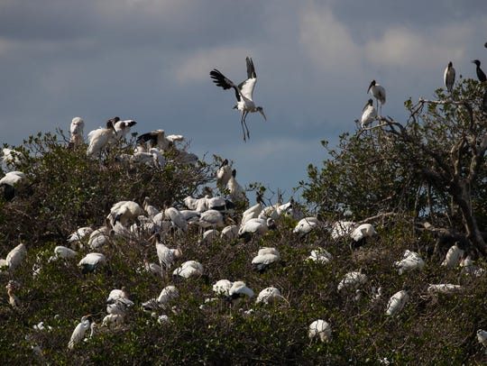 A wood stork looks for a nesting area along one of