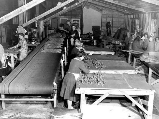 A conveyor belt in a gladiolus processing plant in Fort Myers is shown, circa 1947.
