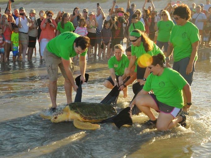 Merriam, a male sub-adult loggerhead turtle was released