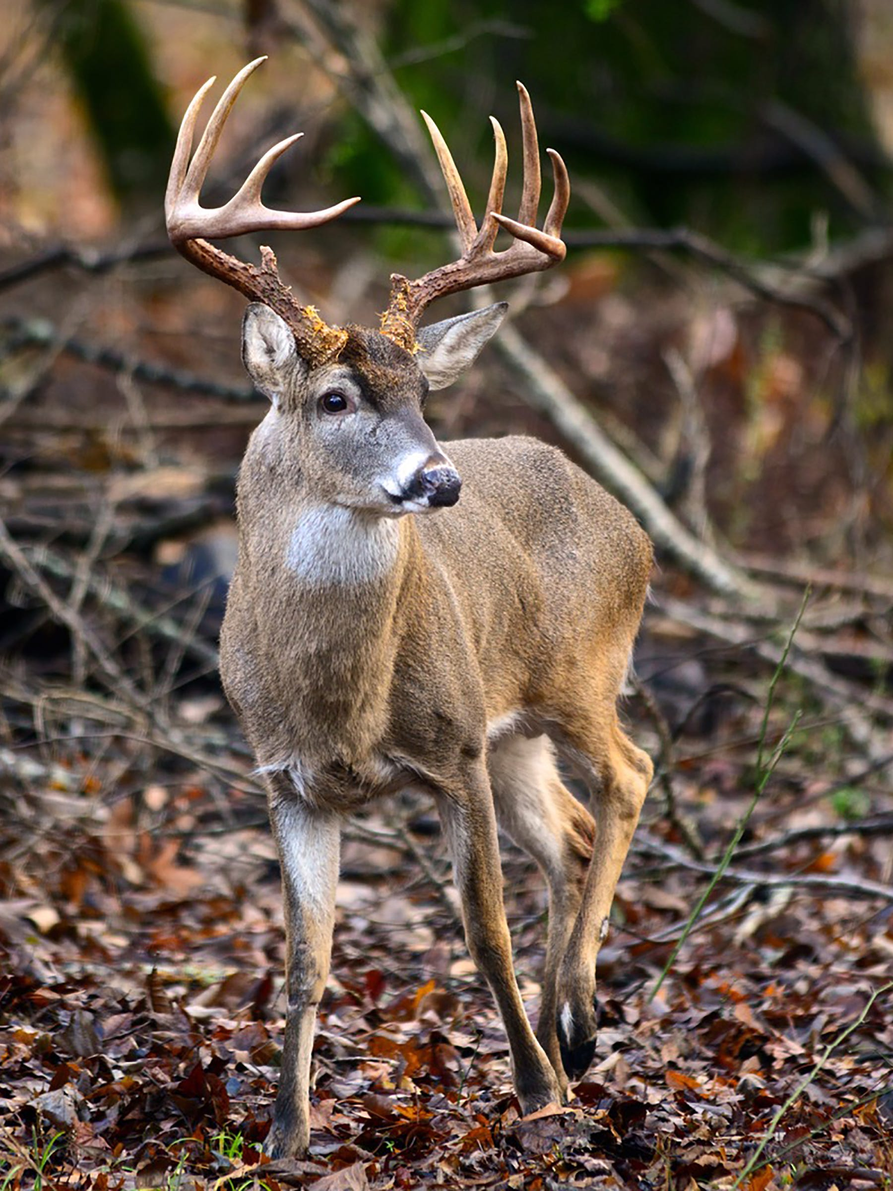 Chronic Wasting Disease CWD Tennessee Wildlife Federation