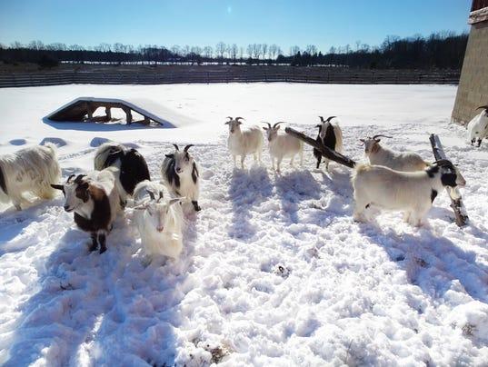 als31-winter goats