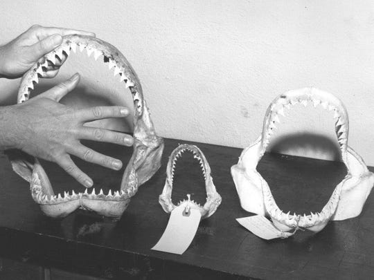 This 1960 photo demonstrates the size of a shark's mouth. (Left) a 7-8 foot; (center) a 4-5 foot; and (right) a 6-foot shark.