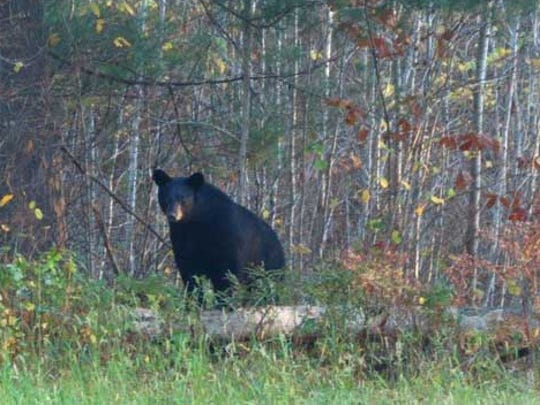 A record 12,970 permits were issued for the 2018 bear hunting season.
