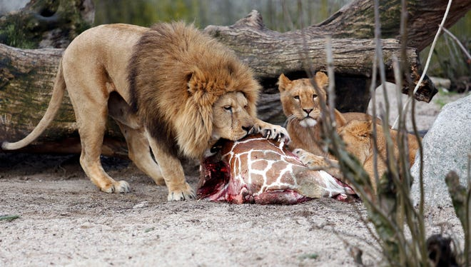 The carcass of Marius, a male giraffe, is eaten by lions Feb. 9 after he was put down at the Copenhagen Zoo.