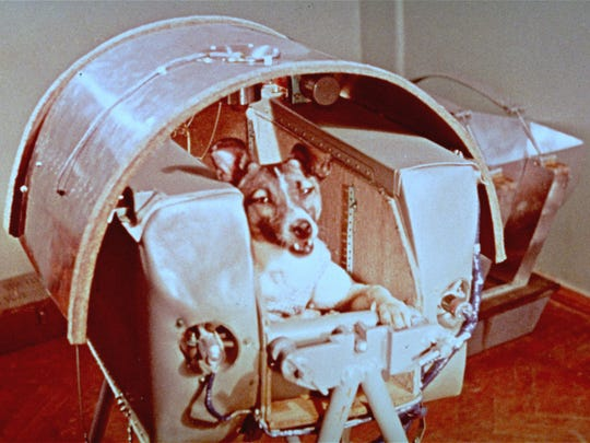 A view of Laika, the female dog the Russians sent into space as a passenger aboard Sputnik II in November 1957.