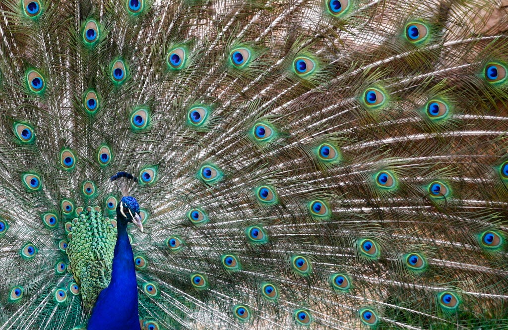 Image of: Upside Down Comfort Animal Or Not Some Airlines Saying No As Rules Are Tightened Usa Today Emotional Support Peacock Comfort Or Not Some Airlines Tighten Rules