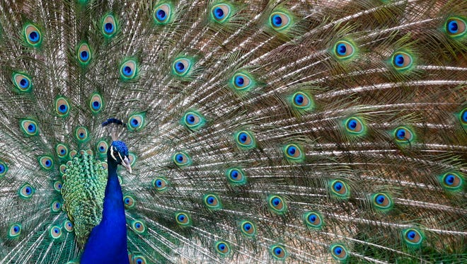 A male peacock displays his feathres as he tries to impress female peacocks at the Joburg Zoo in Johannesburg, South Africa on Jan. 11, 2018.