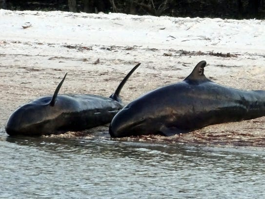 A dead dolphinÕs find is marked with the No. 5 as part