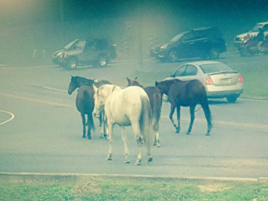 """""""Trespass horses"""" are shown on a street at Fort Polk."""
