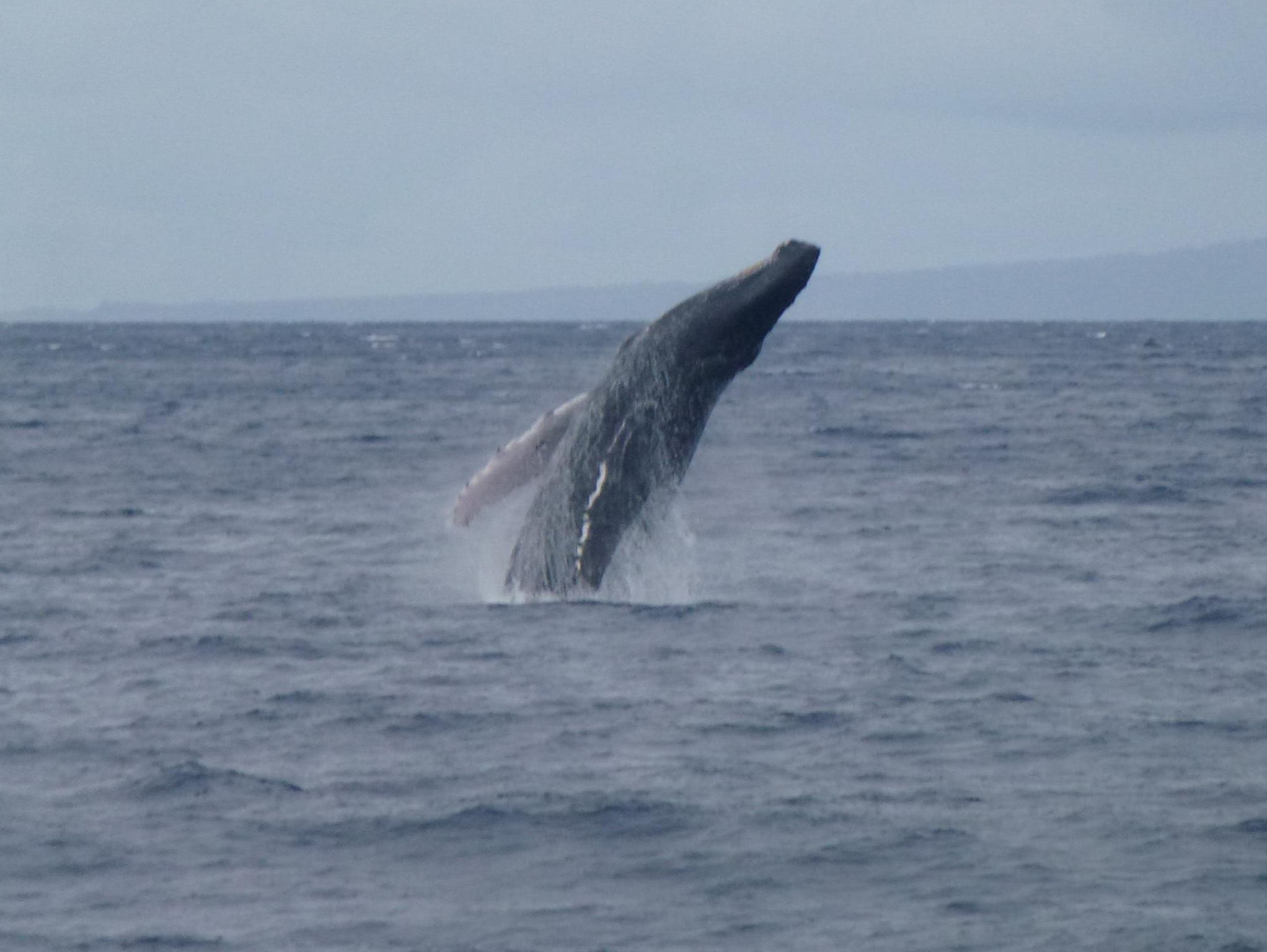 Here is a humpback whale breaching in the channel between the islands of Lana'i, Moloka'i and Maui.