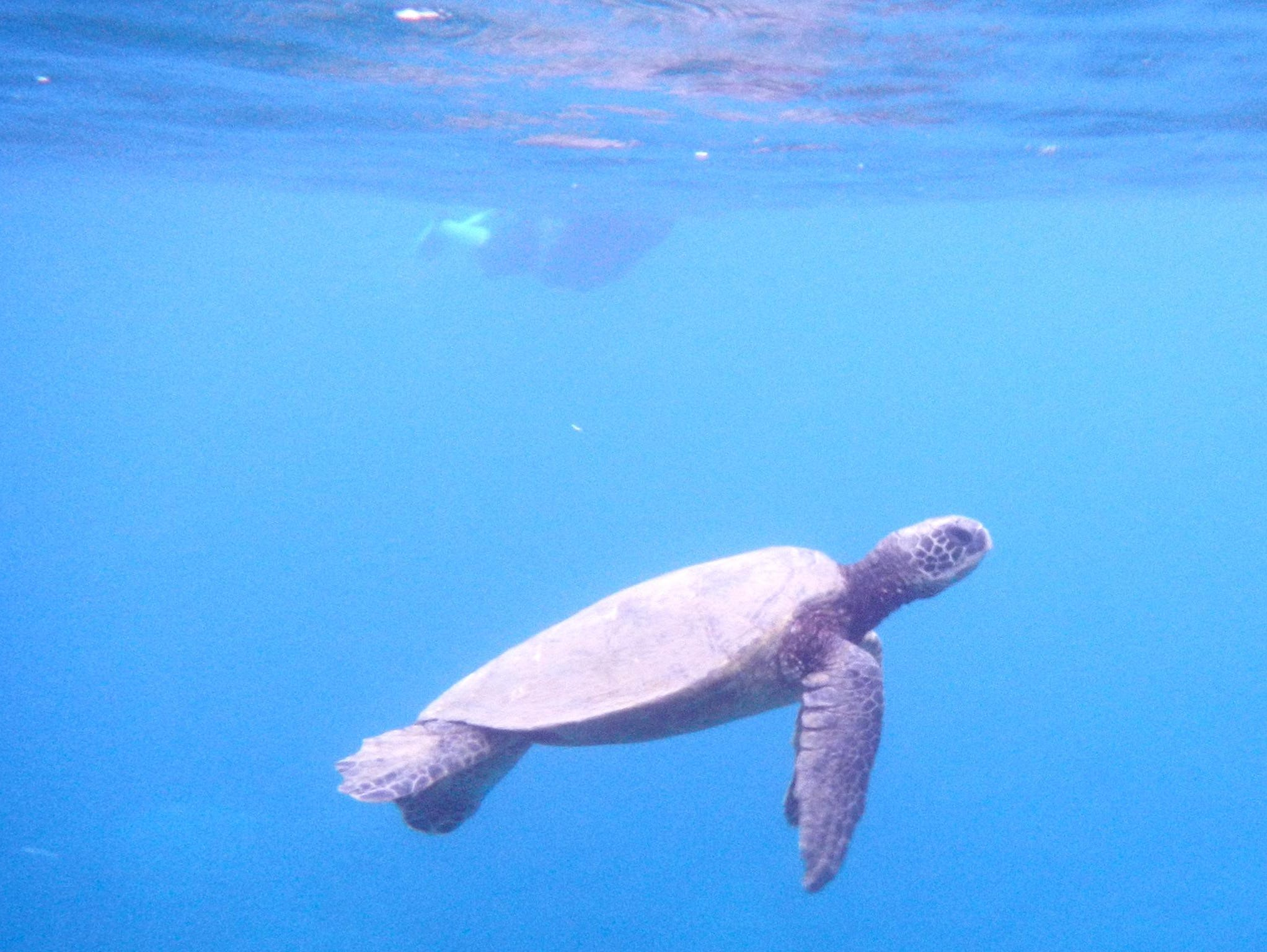 When conditions are right, Un-Cruise provides snorkeling trips to a green sea-turtle feeding ground off the western coast of Maui.