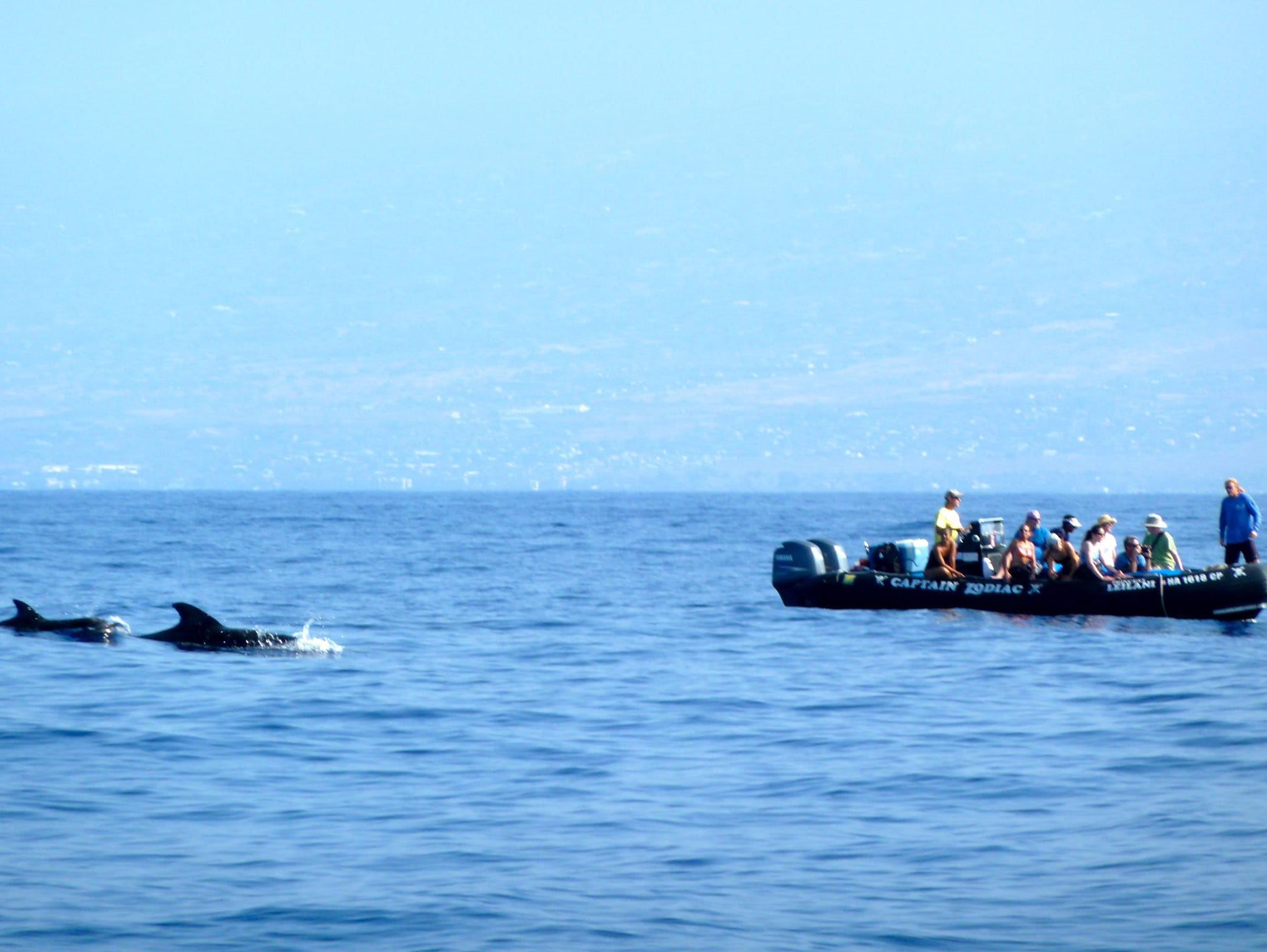 Un-Cruise also partners with local operators to take guests on high-speed zodiac rides through whale-feeding grounds. In this view, a pod of pilot whales breaches alongside a zodiac full of sightseers.