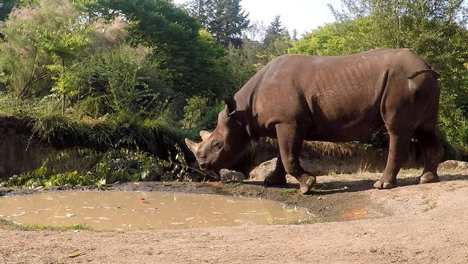 Ruka, an eastern black rhino, explores the Oregon Zoo's Africa Savanna habitat for the first time last week.