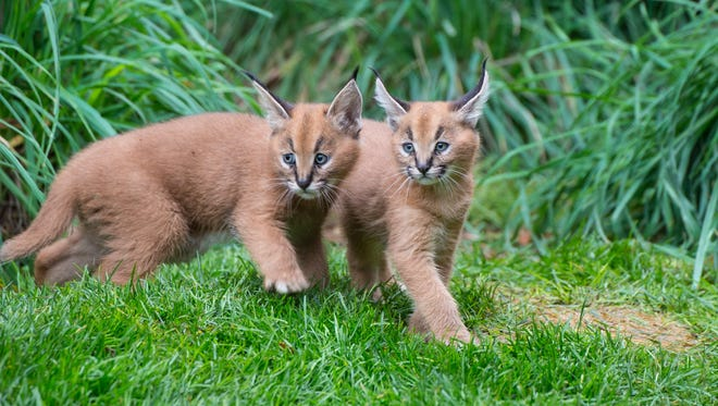 Six week-old caracal kittens in Predators of the Serengeti.