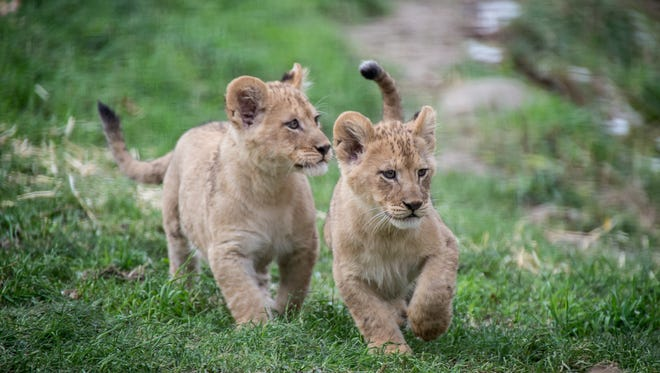 Two month old lion cubs outside for the first time in Predators of the Serengeti. ©