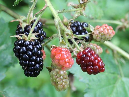 Blackberry fruit.