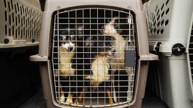 A trio of dogs peer out from their carrier after arriving at the Animal Protective League Wednesday, Sept. 9, 2020. The animals were rescued from southern Illinois and will be housed until they can be adopted.