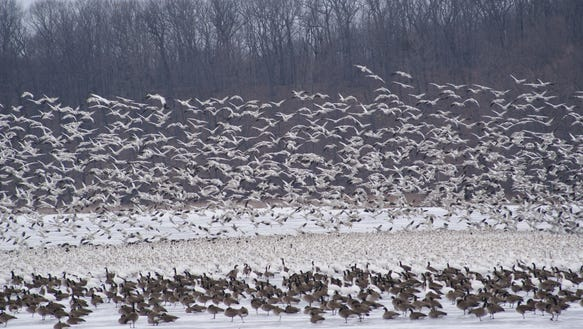 Snow Geese can number in tens of thousands at Montezuma.