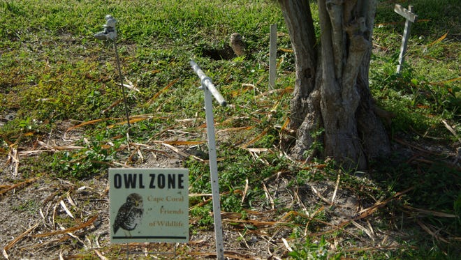 Burrowing owls occupy the property of a 90-year- old Cape Coral woman who needs to connect to city sewer.