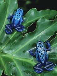 The blue poison dart frogs of 'Frogs: A Chorus of Colors'