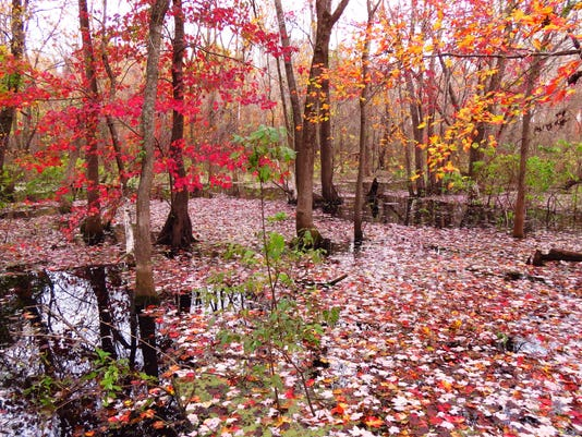 Yellow & red maple leaves in trees & on water, Mingo NWR Bob Ball photo IMG_.jpg
