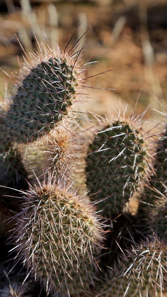A cactus grows along the Black Brush Trail in the Santa
