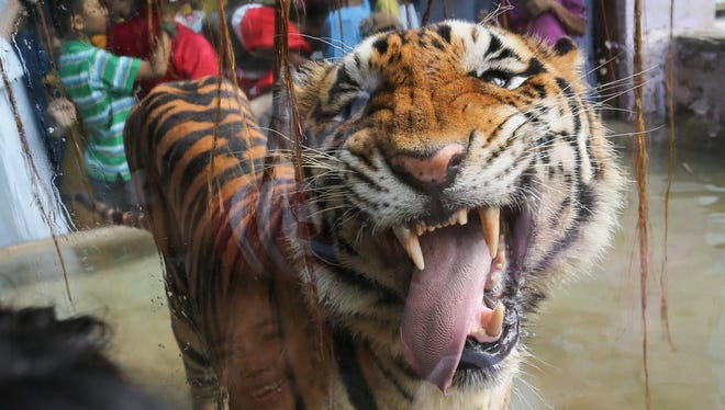 A Bengal tiger licks a glass enclosure at a zoo in the Philippines. Congress is considering a bipartisan bill that would prohibit people from keeping big cats such as tigers, lions and leopards as pets.