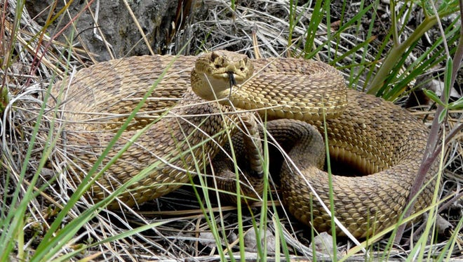 This prairie rattlesnake, its rattle to the right below its head, was spotted in the east Missoula area of Montana.