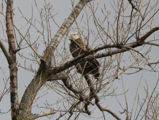 The hope of spotting bald eagles draws many birdwatchers to the Ottawa National Wildlife Refuge. The latest survey recorded 16 bald eagles.