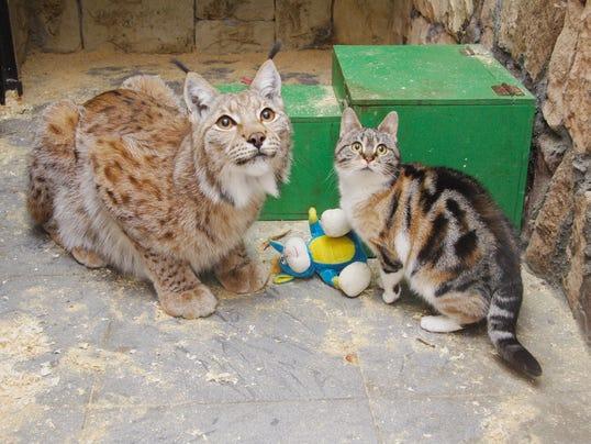 Domestic Cats Vs Big Cats