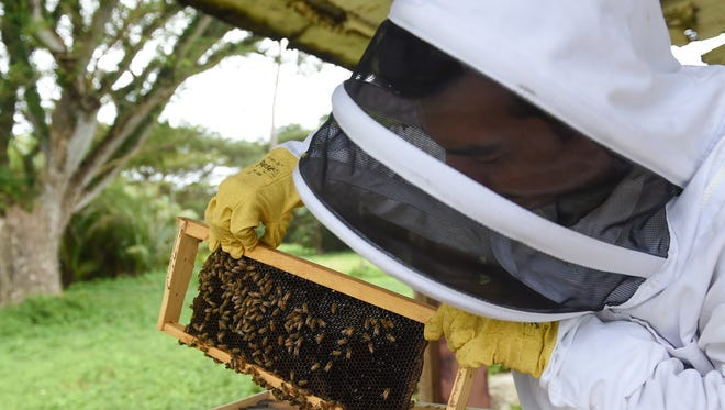 University of Guam research associate Chris Rosario shows honeybees at work at the old Southern Comfort Ranch in Merizo Dec. 29, 2017. Rosario's research entails surveying the overall health of Guam honeybees and to identify if they are infected with a Varroa destructor, an external parasitic mite.