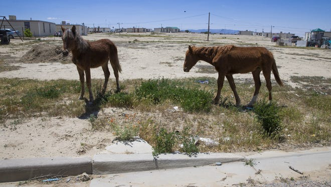 Young horses graze on the weeds where one of 91 homes use to stand on the Navajo Reservation in Shiprock, Ariz. May 24, 2016. The Navajo Housing Authority tore down all but one of the homes in the Shiprock Nonprofit Housing, leaving only cutouts in the curb where the driveway once was.