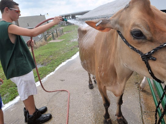A cow gets a bath at the 2013 Franklin County Fair.