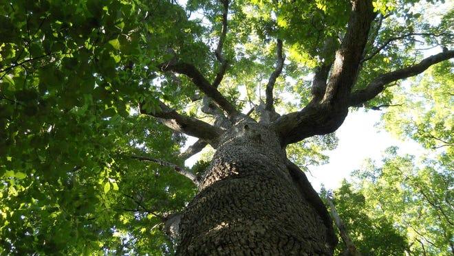 Tree near Bowman Field.