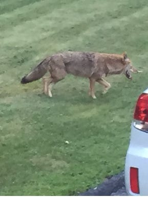 Coyote in a yard on Sept.15, 2015