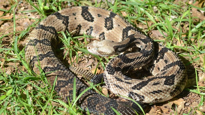 The bite from a timber rattler is among the worst in Mississippi.