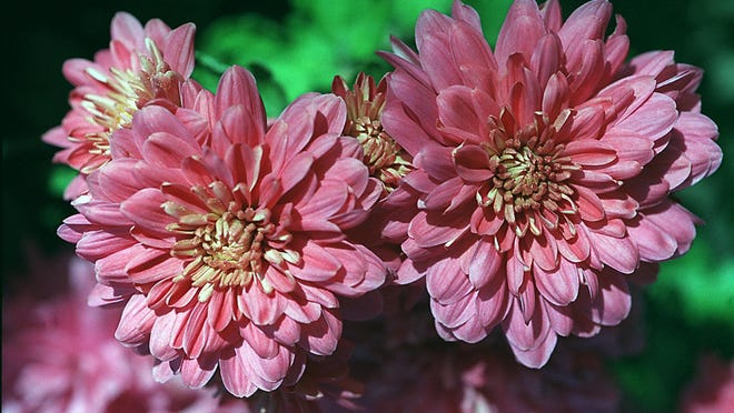 The Floyd Memorial Hospital Auxiliary Fall Mum Sale is Sept. 15.