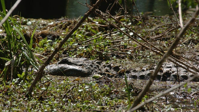 While alligators burrow into underwater dens during cold weather, they will come out to sun on warmer days.