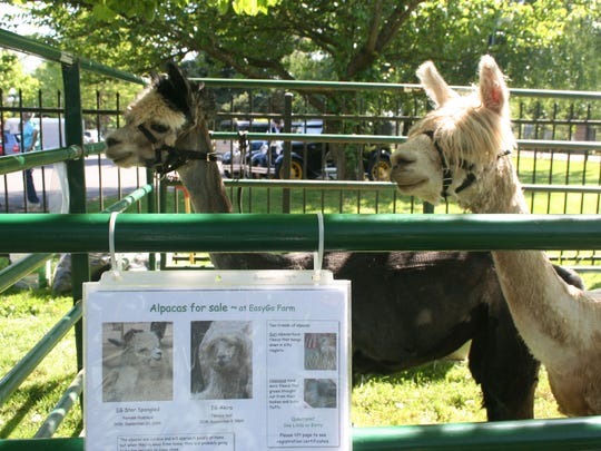 They don't know it, but alpacas Akira and Star Spangled are for sale. The duo, from EasyGo Farm in Hillsboro, were part of Saturday's Sheep to Shawl Family Fun Festival at the Willamette Heritage Center at Mission Mill. (Maybe that should be EasyCome, EasyGo Farm.)
