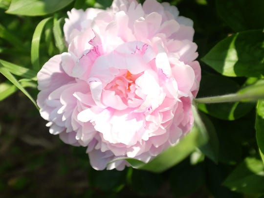 In the peony fields of grower Richard Currie, a variety of blooms reach their peak; here, Lottie Dawson Rae.