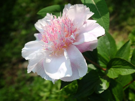 """The peony Do Tell. Modern varieties have been bred as """"shorter, stronger plants that are more weather-resistant,"""" said Roy Klehm, a fourth-generation grower and breeder of peonies."""