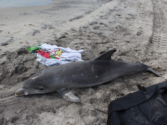 A dead bottlenose dolphin at the north end of the Ocean City, N.J., boardwalk area